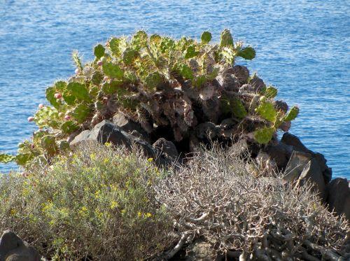 cactus scrub