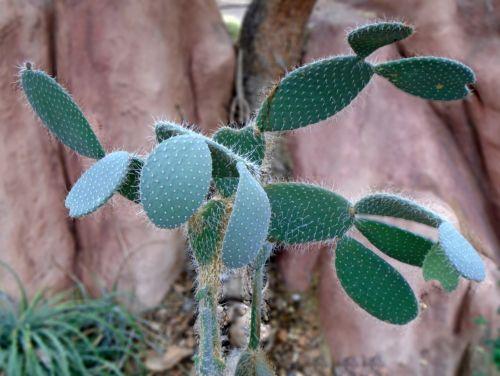 cactus desert prickly pear cactus