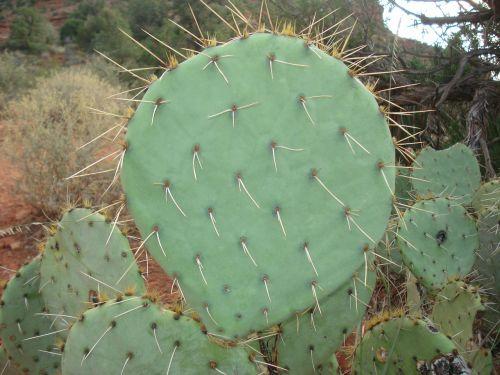 kaktusas,dygliuotas,kriaušė,dygliuotas kriaušes,dygliuotas kriaušių kaktusas,žalias,natūralus,ekologiškas,sedona,Arizona,dykuma,sultingas,vasara,erškėtis,meksikietis,pietvakarius