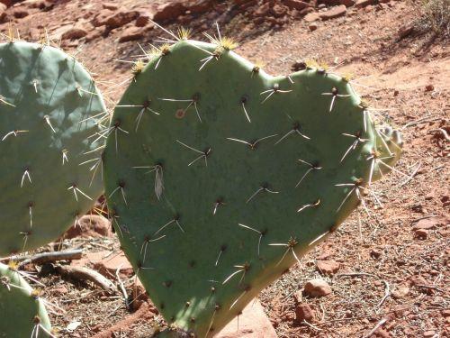 kaktusas,širdis,širdies kaktusas,dykuma,sedona,Arizona,meilė,gamta,ekologiškas,dygliuotas kriaušių kaktusas,dygliuotas,dygliuotas kriaušes,erškėtis,dykumos meilė,sultingas,romantiškas,širdies formos