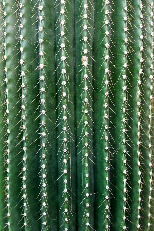 kaktusas,paskatinti,erškėčių,kaktusas šiltnamius,dygliuotas,žalias