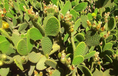 kaktusas,kaktusų laukas,gamta,sultingas,Marokas,paskatinti,žalias,augalas,flora,kaktusas šiltnamius,dygliuotas