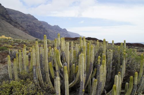 cactus succulents spurge