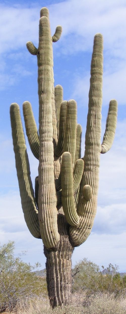 cactus multiple arms saguaro