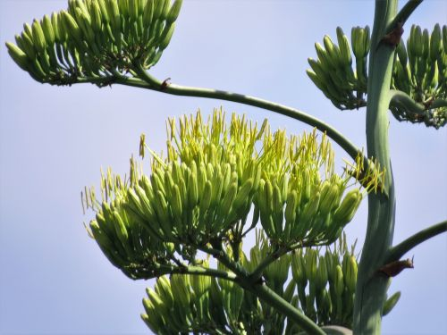 cactus century plant blooms