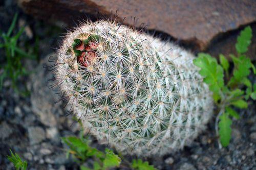 cactus plant desert
