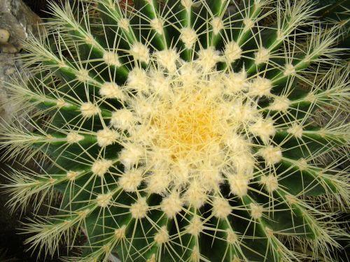 kaktusas,gėlė,augalas,šuoliai,augalai,adatos,ciepłolubne augalai,girtas,žydėjimas,žydėti,kambariniai augalai,dygstantis,žalias,žydi,klesti