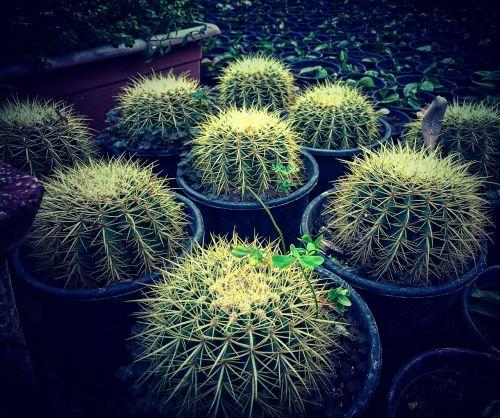 kaktusas,augalas,sodas,žalias,Gelės vazonas,puodą,vazos
