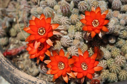 kaktusas,gėlės apelsinai,žydintis kaktusas,augalas