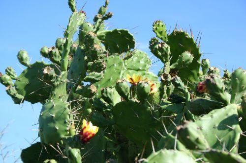 cactus corsican flower