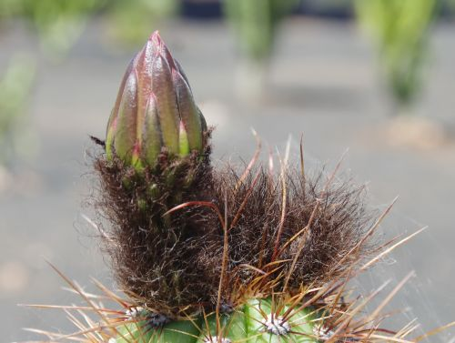 cactus bud flower bud