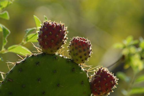 cactus tuna traditional