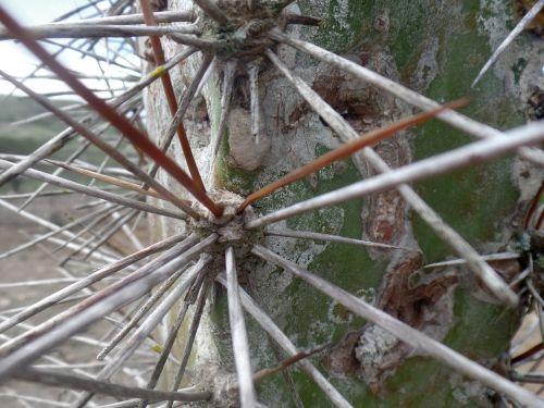 kaktusas,atokrainienė,šiaurės rytuose,šiaurės rytų Brazilija,caatinga,erškėtis,mandacaru,Brazilija,skausmas,žalias,pilka,strėlės,augalai,gamta