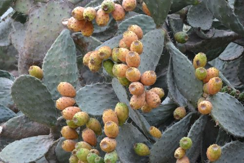 cactus barbed fig flavor