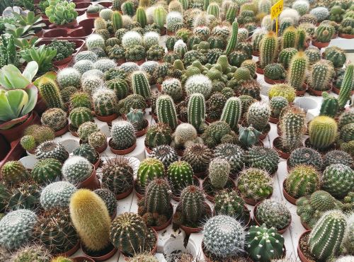 kaktusas,darželis,augalai,žalias,puodai,gamta,erškėčių,sodas