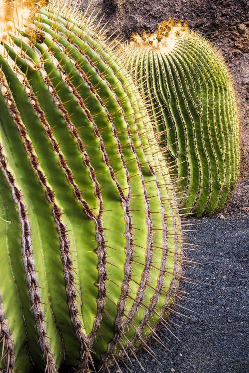 kaktusas,paskatinti,dorne,dygliuotas,rutulinis kaktusas