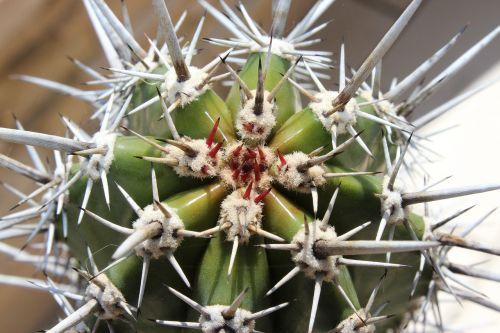 cactus spur growth