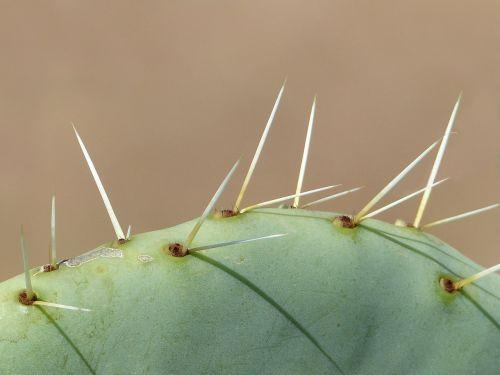 cactus long thorns close up