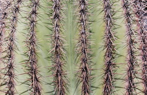 cactus spine sharp