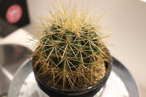cactus  a fleshy plant  plants