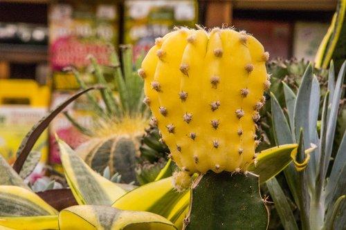 kaktusas, iš kaktusas vaisių, gėlė, augalų, pobūdį, Nė vienas asmuo, Sodas, botanikas