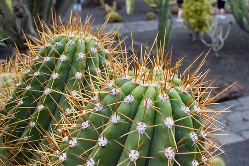 cactus  spina  barb