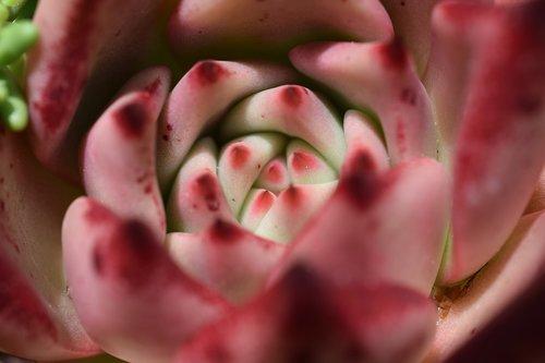 cactus  cactus flower  pink