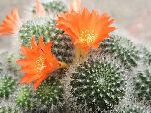 cactus  orange flower  beauty