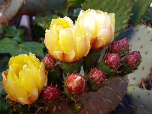 cactus  cactus flower  flowering cactus
