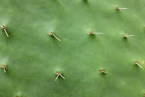 cactus  spine  prickly