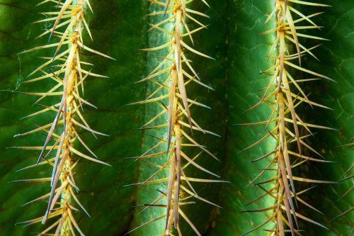 kaktusas,paskatinti,erškėčių,žalias,dygliuotas,augalas,kaktusas šiltnamius