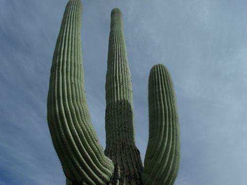 kaktusas,aukštas,dykuma,gamta,augalas,Arizona,dangus,dygliuotas