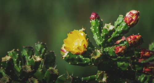 cactus  prickly pear  yellow