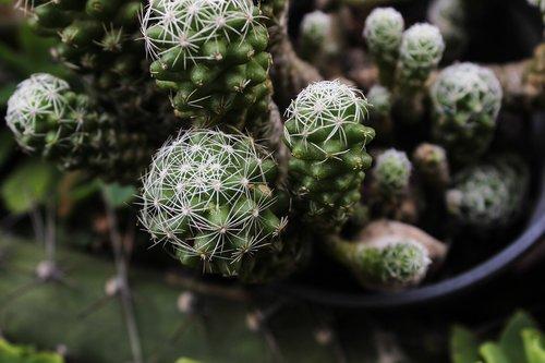 cactus  spina  plant