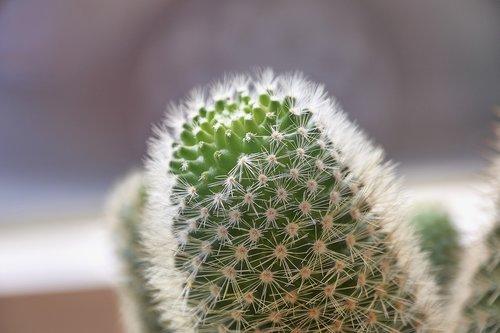 cactus  thorns  plant