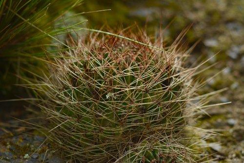 cactus  nature  plant