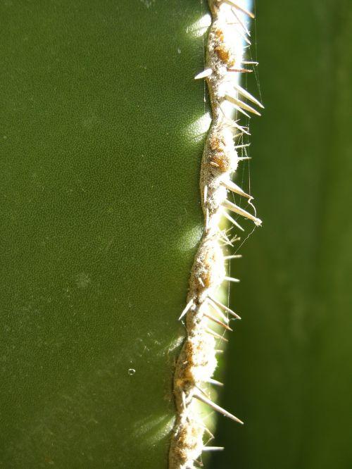 kaktusas,paskatinti,žalias,augalas,dygliuotas,kaktusas šiltnamius,gamta,erškėčių