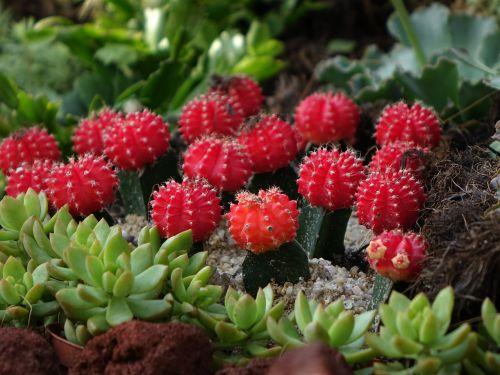 cactus gymnocalycium mihanovichii chin cactus