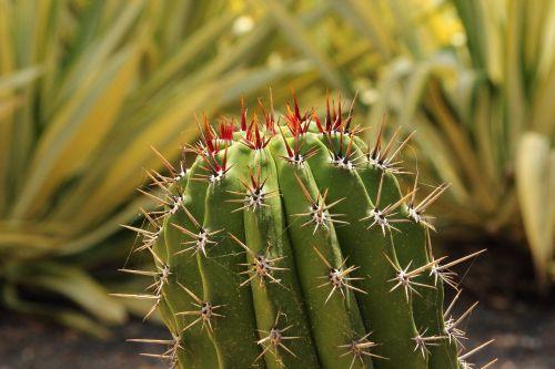cactus spur prickly
