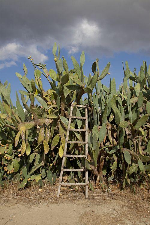 cactus prickly pear head