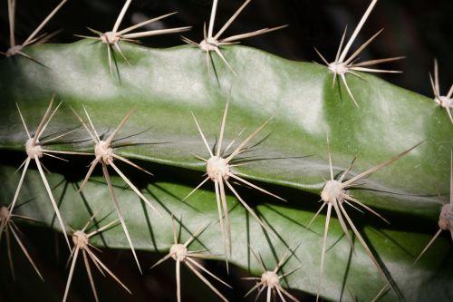 kaktusas,paskatinti,augalas,kaktusas šiltnamius,žalias,gamta,pažymėtas,šerti
