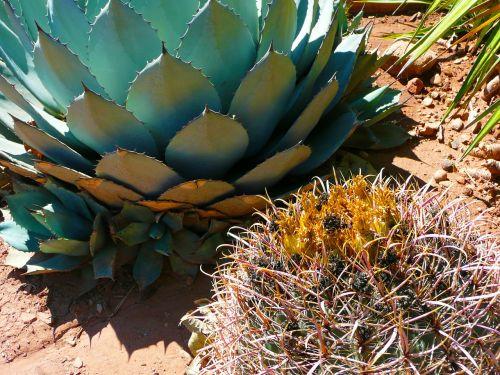 cactus agave pita