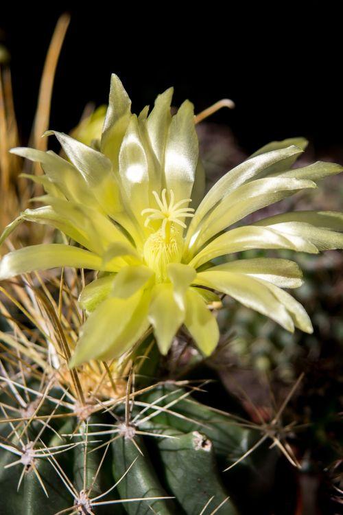 cactus spur cactus blossom