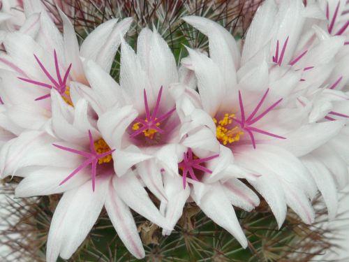 cactus white flowers