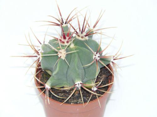 kaktusas,ferocactus latispinus,ferokaktas,kaktusas šiltnamius,kaktusai,paskatinti,dygliuotas,augalas,žalias,plačiajuostis ryšys