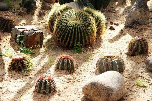 cactus thorn plant