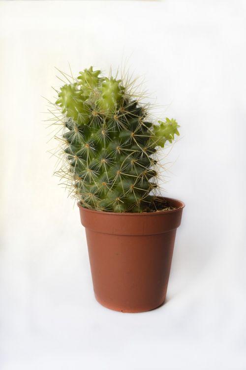 cactus pot flowers in a pot