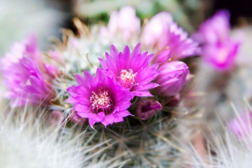 cactus spur arizona
