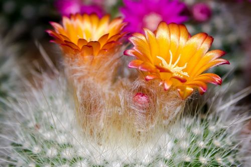 cactus blossom bloom