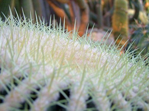 kaktusas, kaktusai, kaktusas šiltnamius, dygliuotas, žalias, balta, gamta, augalas